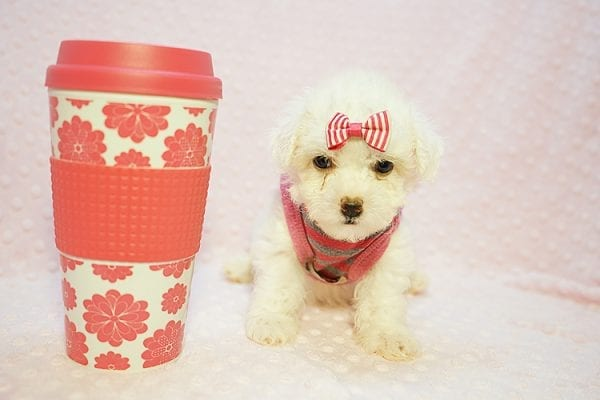 Daisy - Teacup Maltipoo Puppy Found her New Loving Home with Ruben form Palmdale CA 93551-0