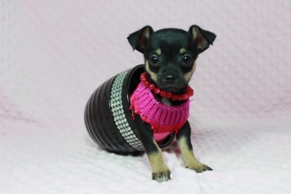 Dora - Tiny Teacup Chihuahua in Las Vegas-22984