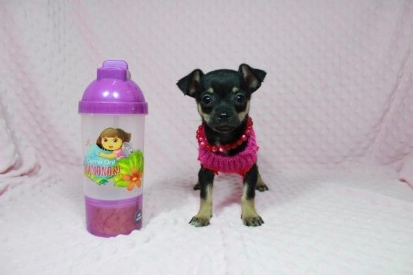 Dora - Tiny Teacup Chihuahua in Las Vegas-22985