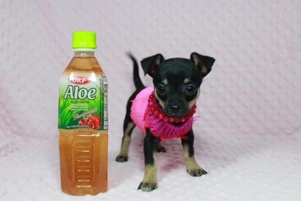 Dora - Tiny Teacup Chihuahua in Las Vegas-0