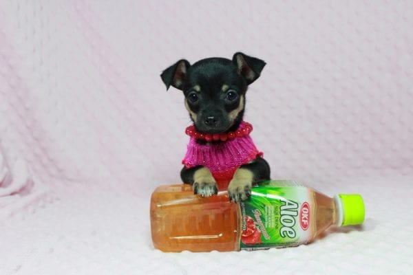 Dora - Tiny Teacup Chihuahua in Las Vegas-22981
