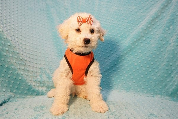 Duddle the Poodle - Toy Poodle Found His Good Loving Home With Elaine S. In Novato, CA 94945-22800