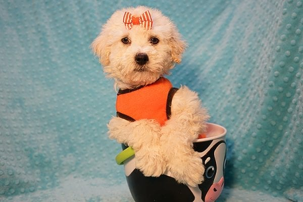 Duddle the Poodle - Toy Poodle Found His Good Loving Home With Elaine S. In Novato, CA 94945-0