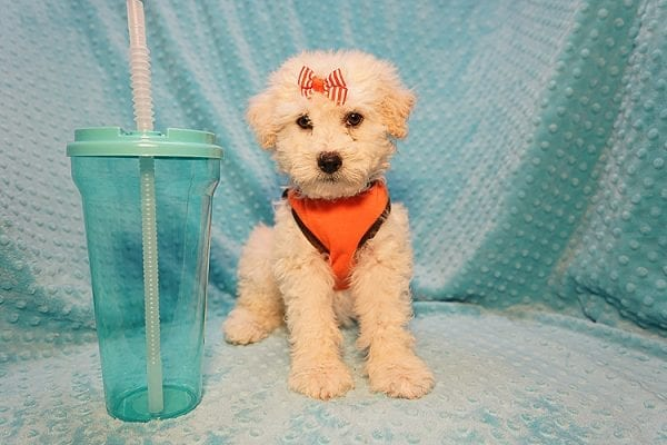 Duddle the Poodle - Toy Poodle Found His Good Loving Home With Elaine S. In Novato, CA 94945-22801