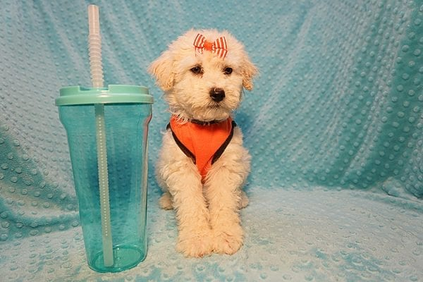 Duddle the Poodle - Toy Poodle Found His Good Loving Home With Elaine S. In Novato, CA 94945-22803