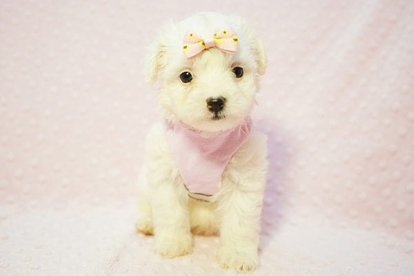 Flower - Teacup Maltipoo Puppy Found Her Good Loving Home With Frank L. In Middleton MA, 01949-22779