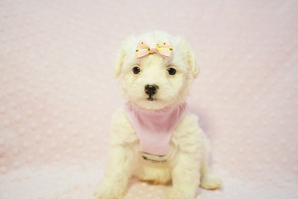 Flower - Teacup Maltipoo Puppy Found Her Good Loving Home With Frank L. In Middleton MA, 01949-22782