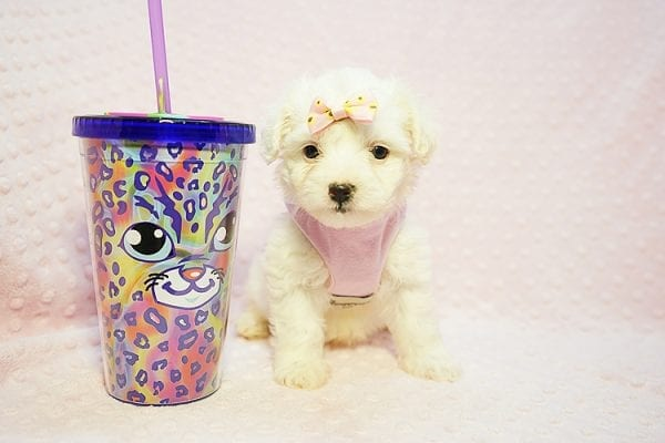 Flower - Teacup Maltipoo Puppy Found Her Good Loving Home With Frank L. In Middleton MA, 01949-22778