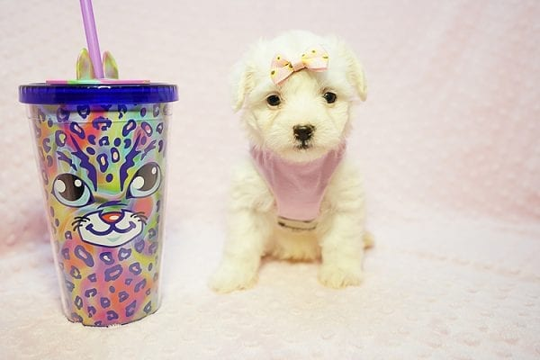 Flower - Teacup Maltipoo Puppy Found Her Good Loving Home With Frank L. In Middleton MA, 01949-0