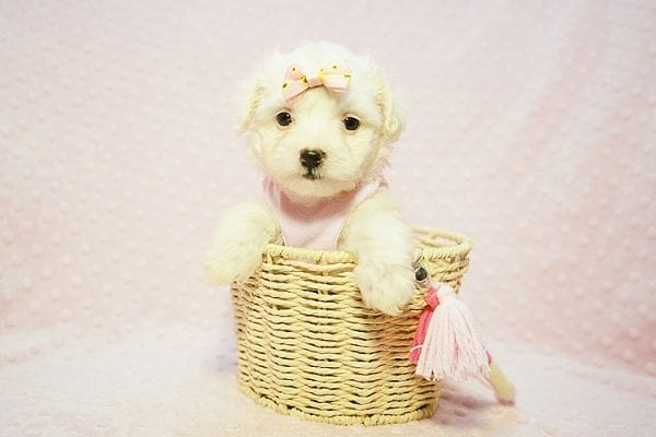 Flower - Teacup Maltipoo Puppy Found Her Good Loving Home With Frank L. In Middleton MA, 01949-22781