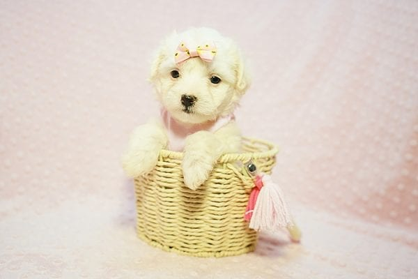 Flower - Teacup Maltipoo Puppy Found Her Good Loving Home With Frank L. In Middleton MA, 01949-22783