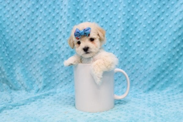 Frank Sinatra - Teacup MaltiPoo Puppy Found his New Loving Home with Jovonna Washington from Los Alamitos CA 90720-23092