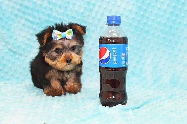 Hermes - Tiny Teacup Yorkie Puppy in Costa Mesa-22929