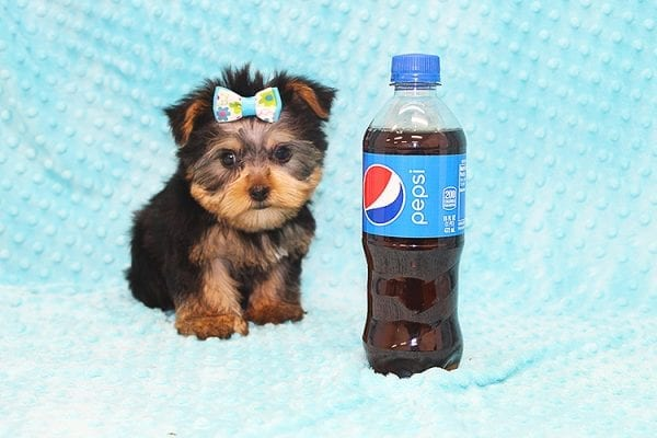 Hermes - Tiny Teacup Yorkie Puppy in Costa Mesa-22934