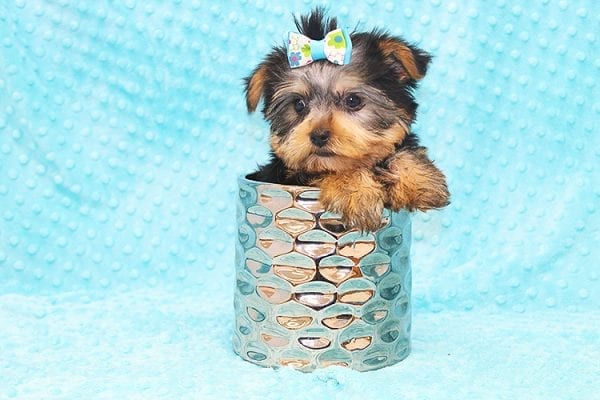 Hermes - Tiny Teacup Yorkie Puppy in Costa Mesa-22930
