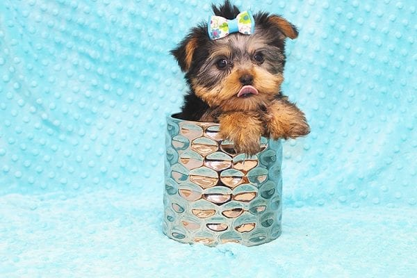 Hermes - Tiny Teacup Yorkie Puppy in Costa Mesa-0