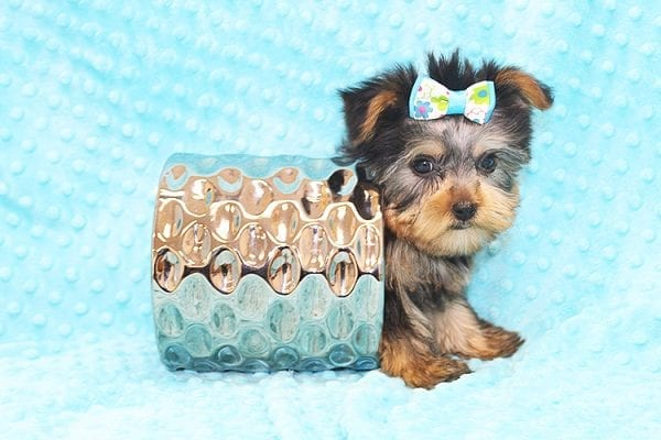 Hermes - Tiny Teacup Yorkie Puppy in Costa Mesa-22931