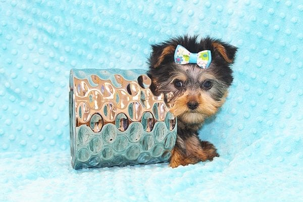 Hermes - Tiny Teacup Yorkie Puppy in Costa Mesa-22932