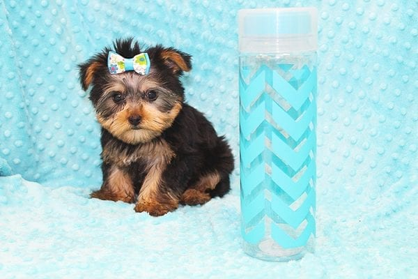 Hermes - Tiny Teacup Yorkie Puppy in Costa Mesa-22935