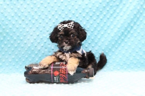 I Puppy X - Teacup Malshi Puppy Found His Good Loving Home With Paul P. In Inglewood CA, 90305-0