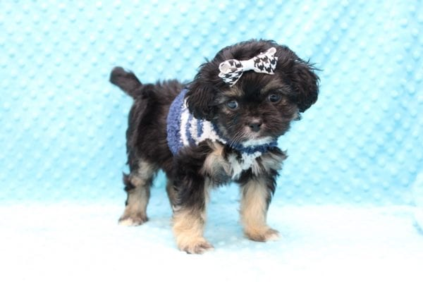I Puppy X - Teacup Malshi Puppy Found His Good Loving Home With Paul P. In Inglewood CA, 90305-23065