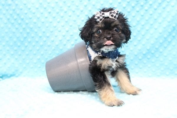 I Puppy X - Teacup Malshi Puppy Found His Good Loving Home With Paul P. In Inglewood CA, 90305-23068