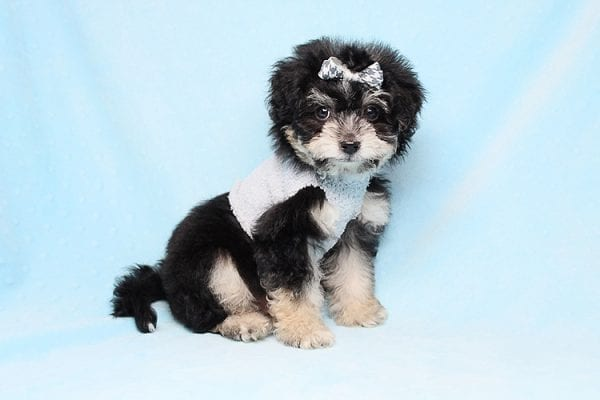 Liam - Teacup Yorkipoo Puppy in Los Angeles Las Vegas