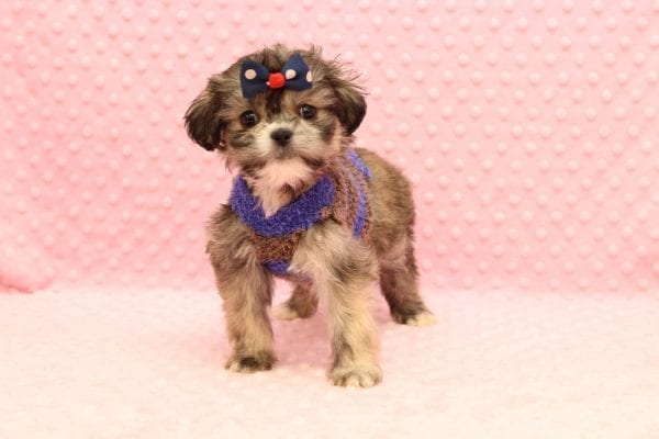 Mary Puppins - Teacup Malshi Puppy adopted by judith christine in 92663-23091