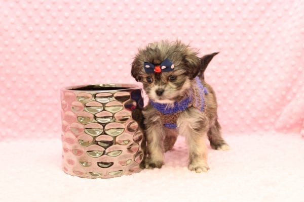 Mary Puppins - Teacup Malshi Puppy adopted by judith christine in 92663-23088