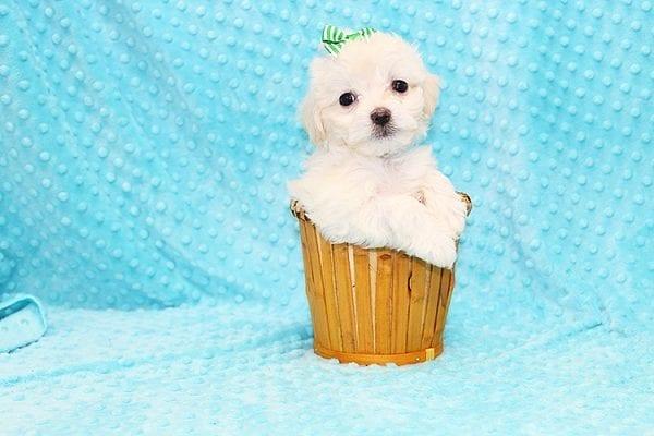 Mcgruff - Tiny Teacup MaltiPoo Puppy in Costa Mesa-0
