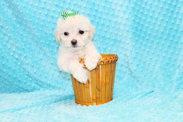 Mcgruff - Tiny Teacup MaltiPoo Puppy in Costa Mesa-22881