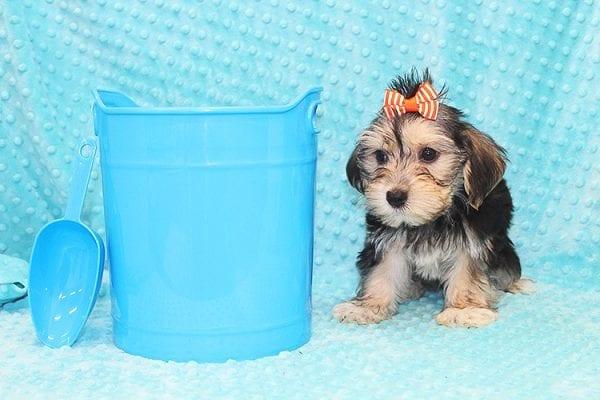 Michael Kors - Toy Morkie Puppy in Las Vegas-22888