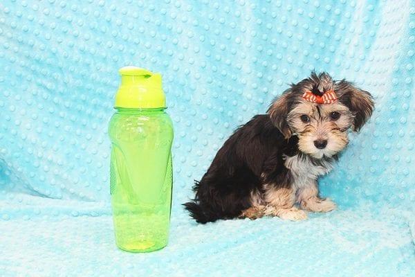 Michael Kors - Toy Morkie Puppy in Las Vegas-22887