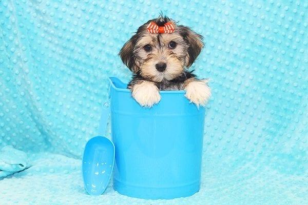 Michael Kors - Toy Morkie Puppy in Las Vegas-0