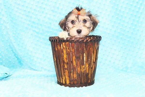 Michael Kors - Toy Morkie Puppy in Las Vegas-22889