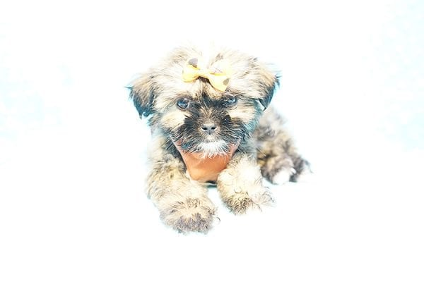 Offset - Teacup Shih Tzu Puppy Found His New Loving Home with Lydia S. from Bakersfield CA 93309-22791
