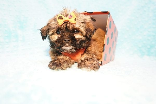 Offset - Teacup Shih Tzu Puppy Found His New Loving Home with Lydia S. from Bakersfield CA 93309-22797
