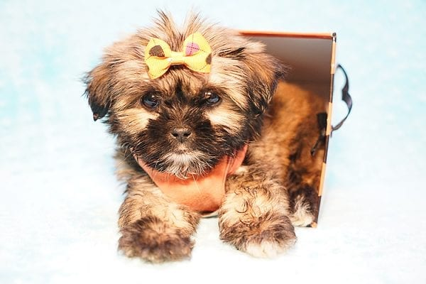 Offset - Teacup Shih Tzu Puppy Found His New Loving Home with Lydia S. from Bakersfield CA 93309-22798