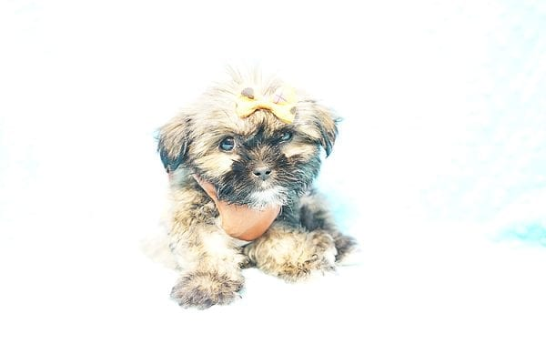 Offset - Teacup Shih Tzu Puppy Found His New Loving Home with Lydia S. from Bakersfield CA 93309-0