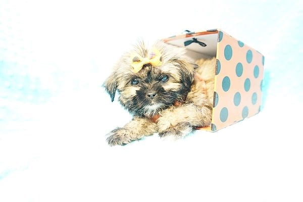 Offset - Teacup Shih Tzu Puppy Found His New Loving Home with Lydia S. from Bakersfield CA 93309-22794
