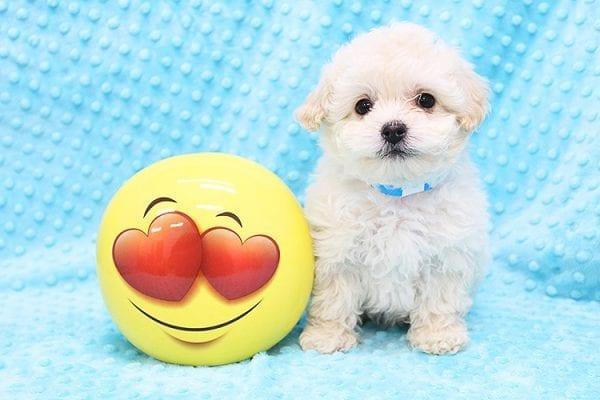 Ronald Reagan -Tiny Teacup MaltiPoo Puppy in Costa Mesa-0