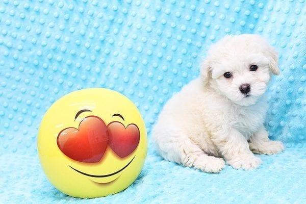 Ronald Reagan -Tiny Teacup MaltiPoo Puppy in Costa Mesa-22879