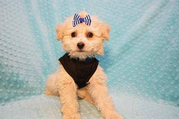 Ronnie - Toy Poodle Puppy in Las Vegas-22809