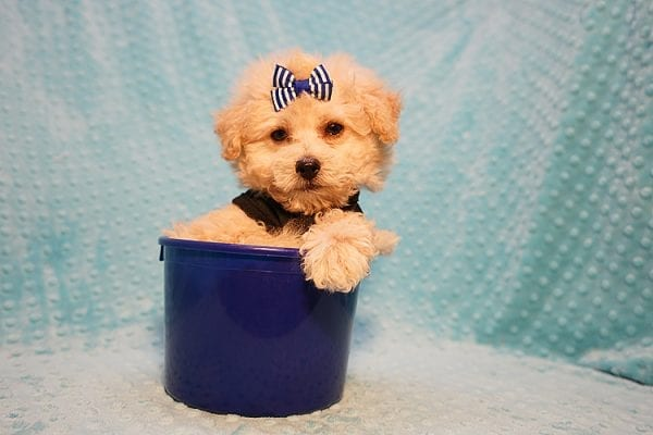 Ronnie - Toy Poodle Puppy in Las Vegas-22814