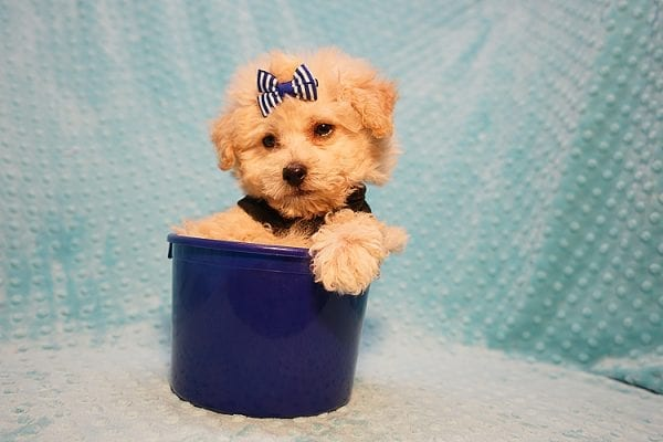 Ronnie - Toy Poodle Puppy in Las Vegas-22816