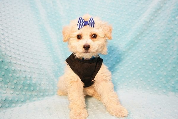 Ronnie - Toy Poodle Puppy in Las Vegas-22810