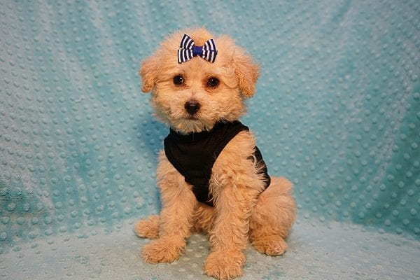 Ronnie - Toy Poodle Puppy in Las Vegas-22811