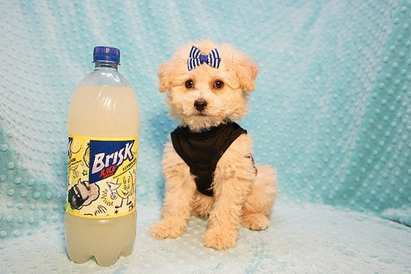 Ronnie - Toy Poodle Puppy in Las Vegas-22812