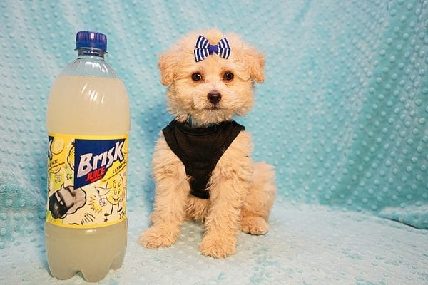 Ronnie - Toy Poodle Puppy in Las Vegas-22813