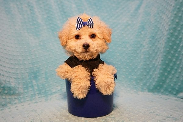 Ronnie - Toy Poodle Puppy in Las Vegas-0